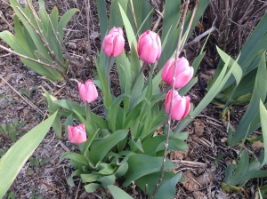 Tulips in full bloom!