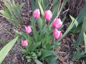 Tulips in full bloom!